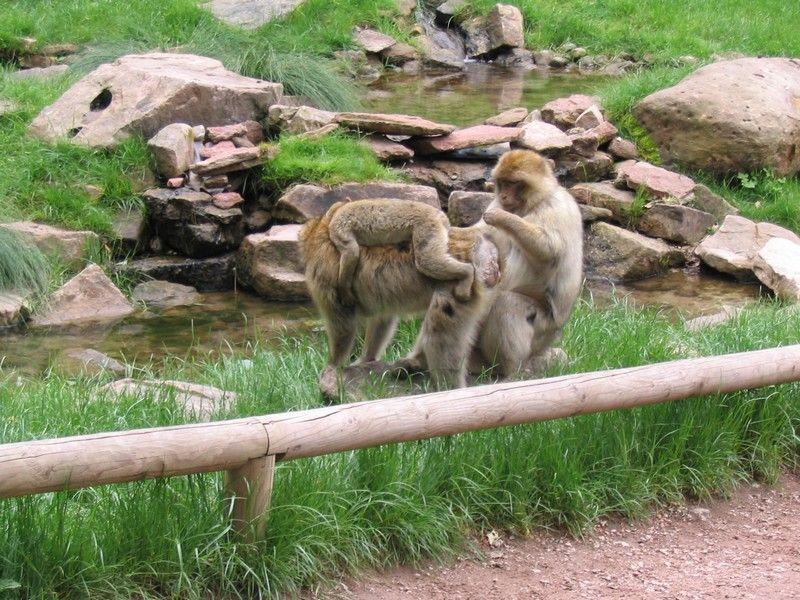 Kintzheim montagne des singes for Distri center la montagne